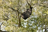 Bee Hive In a Tree Photo by Colin Cuthbert