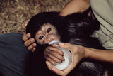 Orphaned Chimpanzee Photographic Print by Tony Camacho
