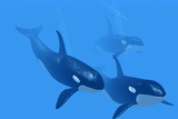 Killer Whales Photographic Print by Christian Darkin