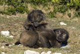 Chacma Baboon Grooming Pair Prints by Peter Chadwick