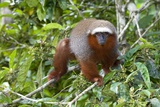 Red Titi Monkey Prints by Tony Camacho