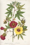 Gossypium Flowers, 19th Century Poster by King's College