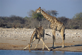 Giraffer Fotografisk tryk af Peter Chadwick