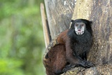 Saddle-back Tamarin Photographic Print by Tony Camacho