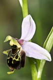 Late Spider Orchid (Ophrys Fuciflora) Photographic Print by Paul Harcourt Davies