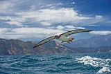 Salvin's Albatross In Flight Photographic Print by Tony Camacho
