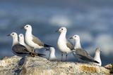 Hartlaub's Gulls Photographic Print by Peter Chadwick