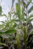 Corn (Zea Mays) Photographic Print by Victor De Schwanberg