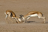Springboks Fighting Photographic Print by Tony Camacho