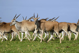 Eland Antelope Herd Photographic Print by Peter Chadwick