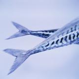 Mackerel Fish Tails Photographie par  Cristina