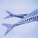 Mackerel Fish Tails Photographic Print by  Cristina