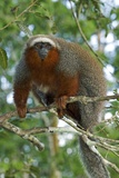 Red Titi Monkey Photographic Print by Tony Camacho