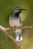 Seychelles Sunbird Photographic Print by Tony Camacho