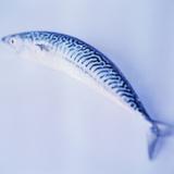 Mackerel Photographic Print by  Cristina