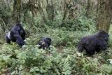 Mountain Gorilla Family Group Fotografisk tryk af Tony Camacho
