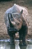 Black Rhinoceros Drinking Photographic Print by Peter Chadwick