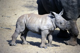 White Rhinoceros Photographic Print by Peter Chadwick