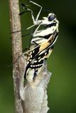 Common Swallowtail Chrysalis Photographic Print by Paul Harcourt Davies