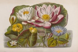 Water Lily Flowers, 19th Century Prints by King's College