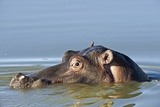 Hippopotamus In Water Photographic Print by Tony Camacho