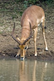 Impala Drinking Water Photographic Print by Peter Chadwick