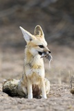 Cape Fox with Prey Photographic Print by Tony Camacho