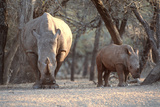 White Rhinoceros Mother And Calf Photographic Print by Peter Chadwick