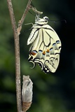 Common Swallowtail Butterfly Photographic Print by Paul Harcourt Davies