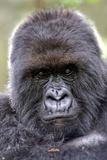 Mountain Gorilla Male Fotografisk tryk af Tony Camacho