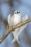 White Tern In a Tree Photographic Print by Tony Camacho