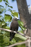 Lesser Noddy In a Tree Print by Tony Camacho