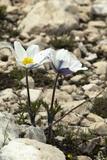 Alpine Pasque Flower (Pulsatilla Alpina) Photographic Print by Paul Harcourt Davies