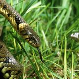 Head of a Common Grass Snake Photographic Print by Dr. Jeremy Burgess