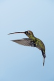 White-whiskered Hermit Hummingbird Posters by Tony Camacho