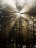 Sunlight Through Pine Trees Prints by Adrian Bicker