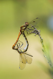 Common Darter Dragonflies Photo by Adrian Bicker