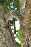 White-fronted Capuchin Monkey Photographic Print by Tony Camacho