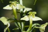 Platanthera Chlorantha Prints by Paul Harcourt Davies