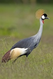Southern Crowned Crane Posters by Peter Chadwick
