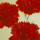 Pinks (Dianthus Sp.) Photographic Print by  Cristina