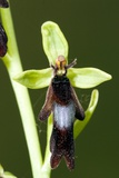 Fly Orchid (Ophrys Insectifera) Photographic Print by Paul Harcourt Davies