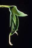 Pea Pod, Pisum Photographic Print by  Dr. Jeremy