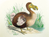 Coloured Engraving of a Dodo Posters by Dr. Jeremy Burgess