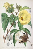 Pima Cotton Flowers, 19th Century Posters by King's College