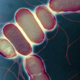 Salmonella, TEM Photographic Print by Henrik Chart