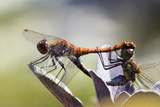 Common Darter Dragonflies Prints by Adrian Bicker