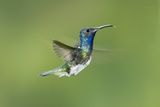 White-necked Jacobin Hummingbird Poster by Tony Camacho