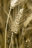 Four-rowed Barley (Hordeum Vulgare) Photographic Print by Paul Harcourt Davies