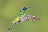 Sparkling Violetear Hummingbird Photographic Print by Tony Camacho